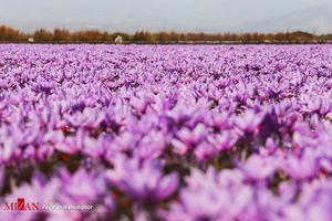 عکس/ برداشت زعفران در خراسان شمالی