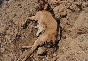 راز تصاویر لاشههای حیات وحش طبس از زبان مسئولان +عکس