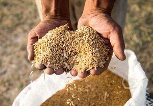 چرا ایران به رغم خودکفایی گندم وارد میکند؟