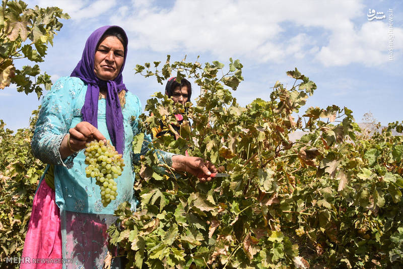 برداشت انگور در روستای سولار شهرضا