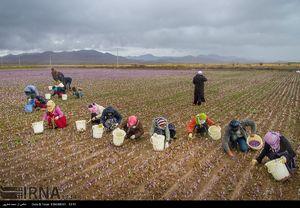 عکس/ آیا برداشت زعفران را دیدهاید؟