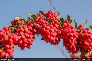 عکس/ برداشت زرشک از باغات خراسان جنوبی