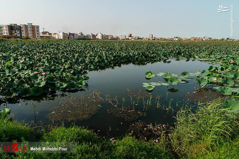 تالاب نیلوفر آبی در بابل