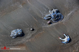 عکس/ مرگ صدها عروس دریایی در ساحل بندرعباس