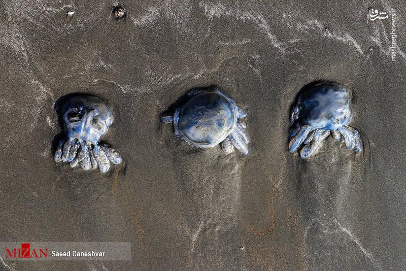 مرگ صدها عروس دریایی در ساحل بندر عباس
