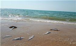 سوداگری میلیاردی با دم کوسهها در سواحل خلیجفارس +فیلم