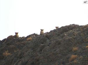 تصویری خاص از سه یوزپلنگ در توران