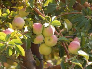 تدبیری که زیر درخت سیب گم شد