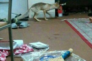 عکس/ ورود روباه به خوابگاه دانشجویی یزد