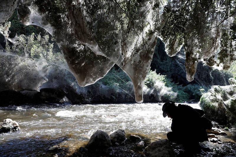 تار عنکبوتهای عظیم و سست در فلسطین اشغالی