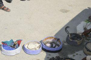 عکس/ کشف مارهای سمی کمیاب از شکارچیان