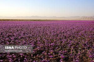 عکس/ شهر زعفران اینجاست