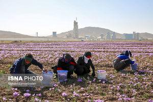 ایران چند درصد زعفران جهان را تولید میکند؟