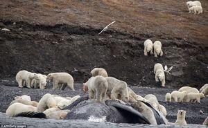 عکس/ هجوم خرسهای قطبی به لاشه نهنگ