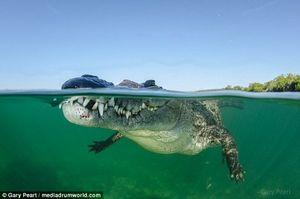 عکاسی شجاعانه از شنای یک تمساح!