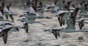 عربستان و ایران دو کشور قتلگاه پرندگان مهاجر