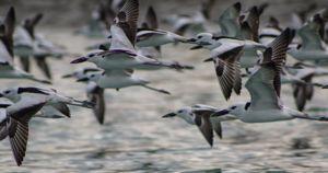 عربستان و ایران دو کشور اصلی قتلگاه پرندگان مهاجر