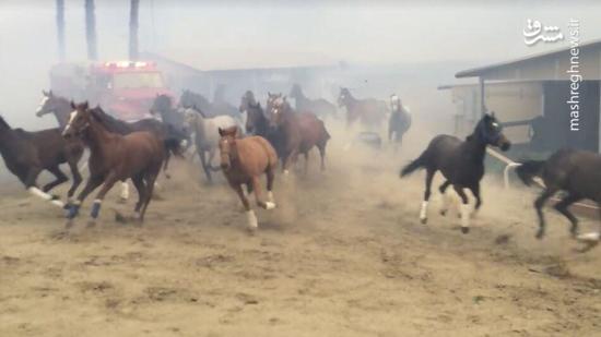 عکس/ فرار اسبها از آتشسوزی کالیفرنیا