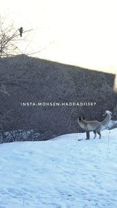 عکس/ روباه و زاغ در پارک ملی گلستان