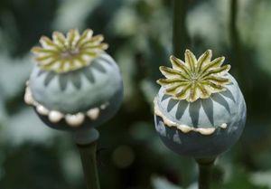 کشف بزرگترین محموله بذر ماده مخدر گل,