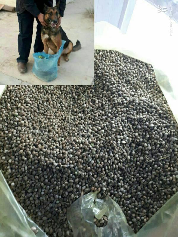 عکس/ کشف بزرگترین محموله بذر ماده مخدر گل