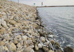 ۲۰۰ قطعه بچه کوسه ماهی در ساحل بوشهر تلف شدند+تصاویر