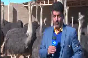 فیلم/ شوخی شترمرغ ها با خبرنگار صدا وسیما