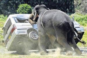 فیلم/ حمله فیل به ماشینهای رهگذر