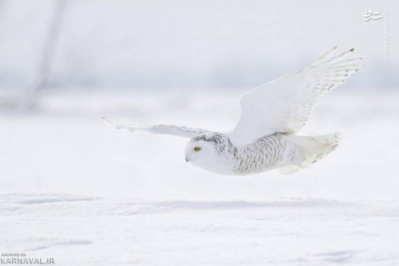 جغد برفی/ در تابستان پرنده های بسیاری از نقاط مختلف راهی قطب شمال می شوند که در آن تولید مثل کنند اما هیچ وقت تمام عمرشان را در این منطقه نمی مانند. بانتینگ های برفی، تارمیگان و جغد برفی تنها پرندگانی هستند که می توانند در قطب شمال به حیات خود ادامه دهند. این جغدها در آمریکای شمالی به جغد بزرگ سفید و جغد شمالگانی نیز شهرت دارند.