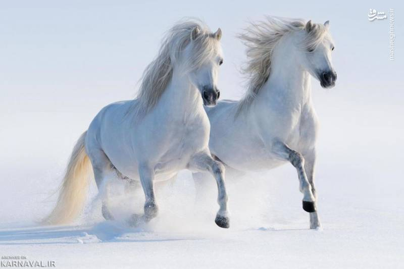 اسب های تازنده بر برف