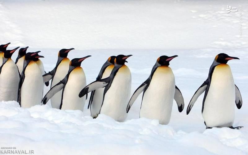 پنگوئن پادشاه/ پنگوئن های پاشاه (King Pinguins) دومین گونه بزرگ پنگوئن پس از پنگوئن های امپراتور هستند.