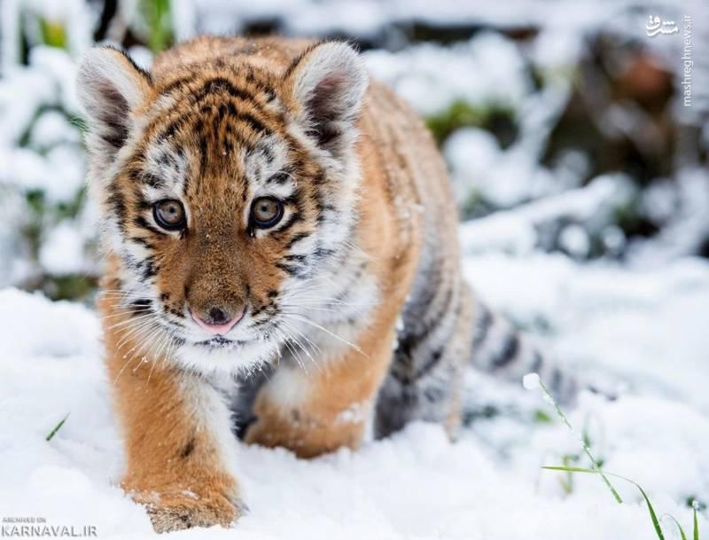 ببر سیبری/ این جاندار به عنوان بزرگ ترین گربه سان دنیا شناخته می شود.