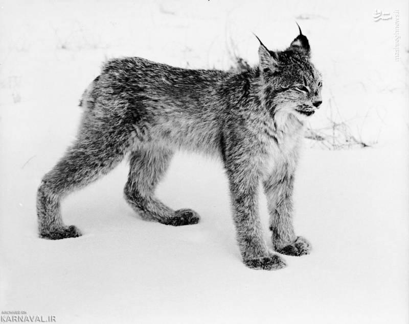 وشق/ وشق یا سیاهگوش (Lynx) گربهسانی است ساکن جنگل های کوهستانی که برخی گونه های آن در کانادا و آلاسکا زندگی می کنند.