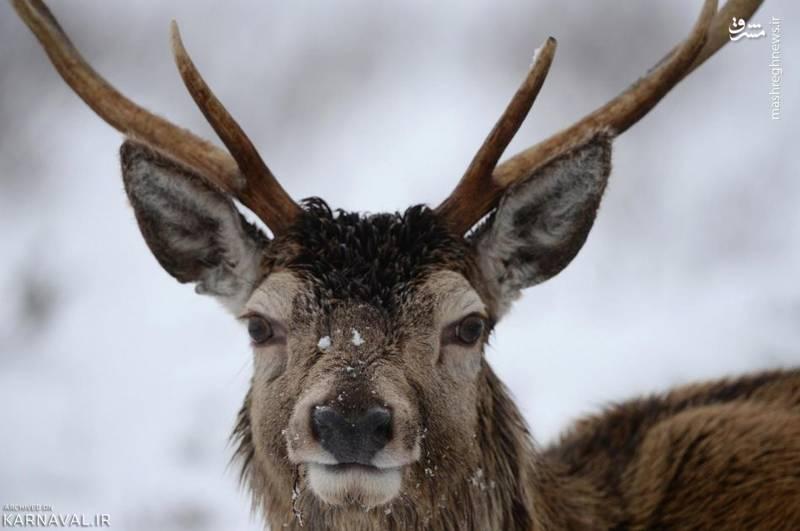 گوزن قرمز/ این حیوان زیبا مرال یا گوزن قرمز (Red deer) نام دارد و برخی از گونه های آن به عنوان جانداران در معرض خطر انقراض طبقه بندی می شوند.