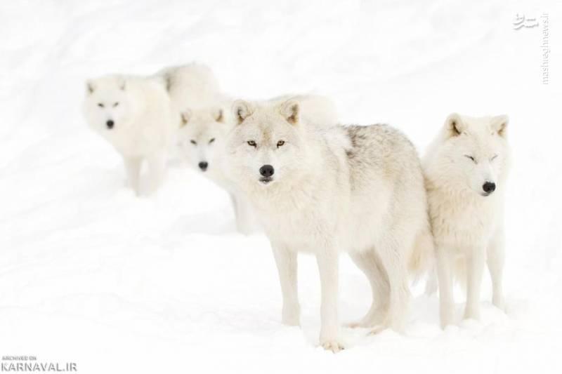 روباه قطبی/ روباه قطبی جانداری است که در نواحی قطبی اروپا، آسیا و آمریکای شمالی زندگی می کند. بدن این حیوان پوشیده با خز ضخیمی است و به او این امکان را می دهد که بتواند حتا تا دمای منفی ۷۰ درجه را نیز تحمل کند.