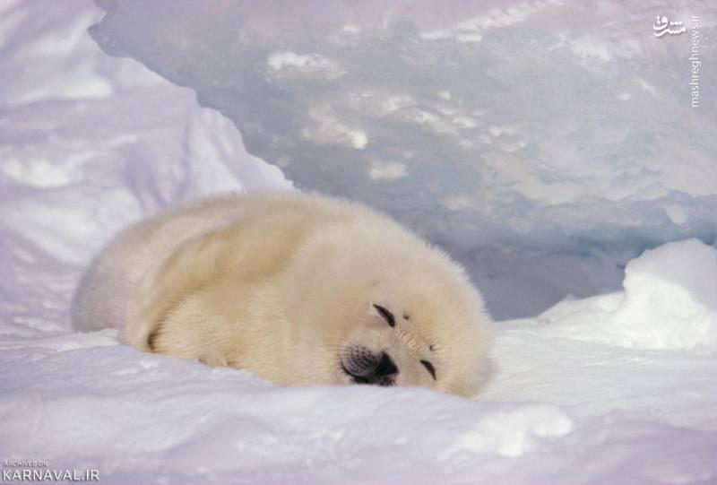 فک چنگی/ توله فک چنگی (Harp seal) در میان برف آرمیده است. این جاندار دارای بینایی و شنوایی فوق العاده دقیقی به ویژه در زیر آب است اما قدرت بویایی آن چنگی به دل نمی زند. توله فک چنگی حدود ۱۰ کیلوگرم وزن دارد و تا ۱۲ روز شیر می خورد.