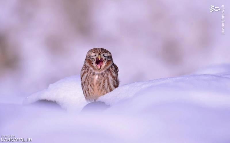 جغد کوچک در لا به لای برف ها