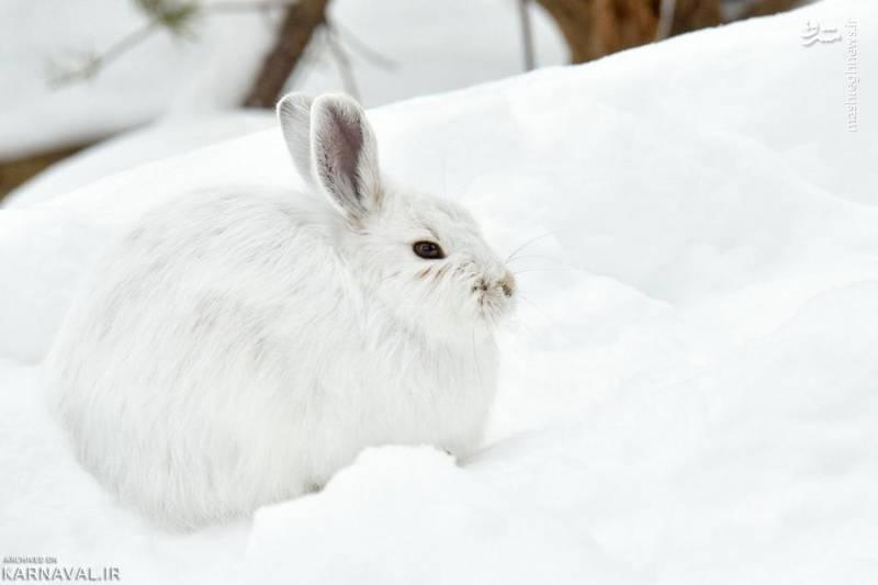خرگوش صحرایی سفید