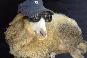 فیلم/ دستگیری یک گوسفند توسط پلیس!