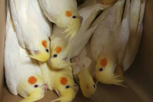 عکس/ کشف محموله قاچاق پرنده در گمرک
