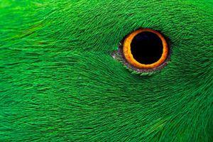 عکس/ نمایی نزدیک از چشم طوطی جنگلی