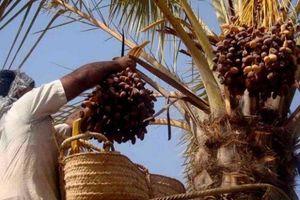 مانور دلالان در بازار خرما