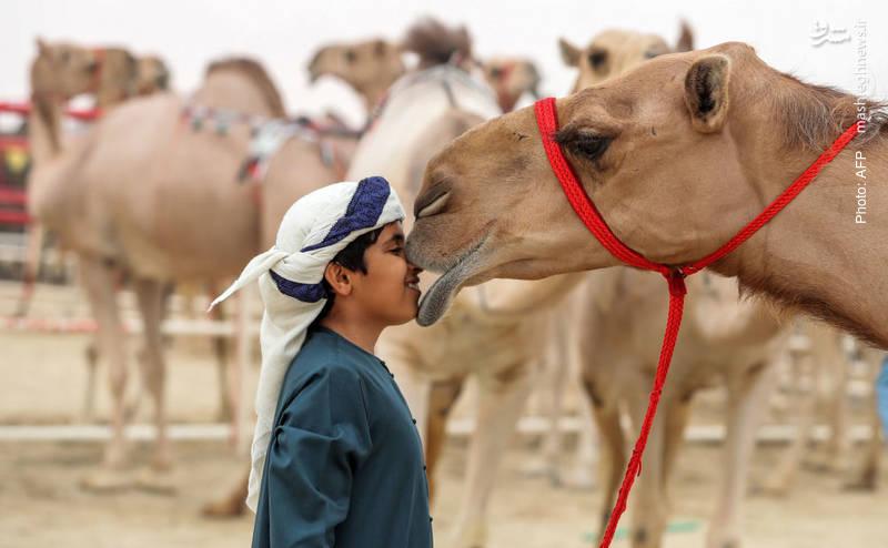 جشنواره شترها در شهر «زاید» (نام خاندان حاکم) در 150 کیلومتری غرب ابوظبی