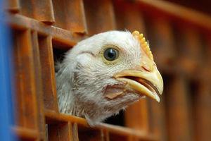 تهدید آنفلوانزا برای مرغ گوشتی نداریم