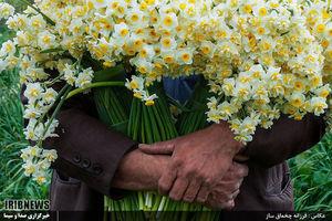 تصاویر زیبا از برداشت گل نرگس