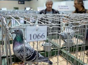 عکس/ دورهمی کبوتربازان اروپایی