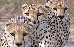 فیلم/ حمله یوزپلنگها به شترمرغ
