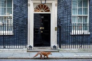 عکس/ عبور روباه از جلوی دفتر نخست وزیر انگلیس!