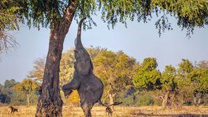 عکس/ حرکت زرافه ای یک فیل!