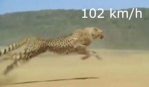 فیلم/ دویدن یوزپلنگ با سرعت 102 کیلومتر